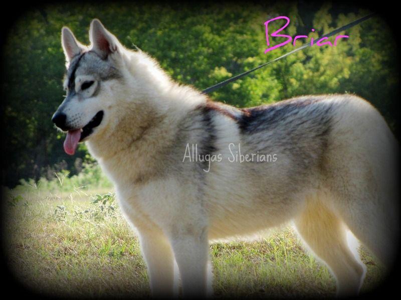 Alluga Siberians In Tyler Tx Doggy Dogs
