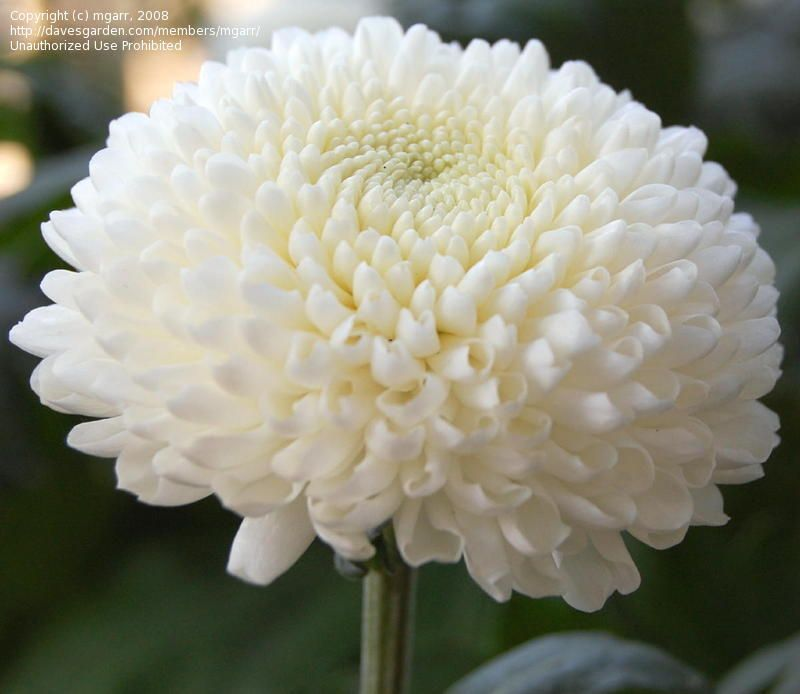 Plantfiles Picture 1 Of Chrysanthemum Garden Mum Florist 39 S Mum Chrysanthemum Flower Garden Mum Chrysanthemum