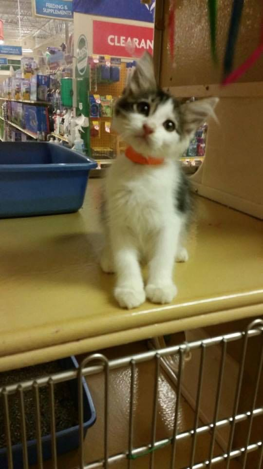 Jax Is A 3month Old Male Looking For His Forever Home He Is Available For Adoption Through Texas Star Rescue And Is In The I Cat Adoption Indoor Cat Cat Room