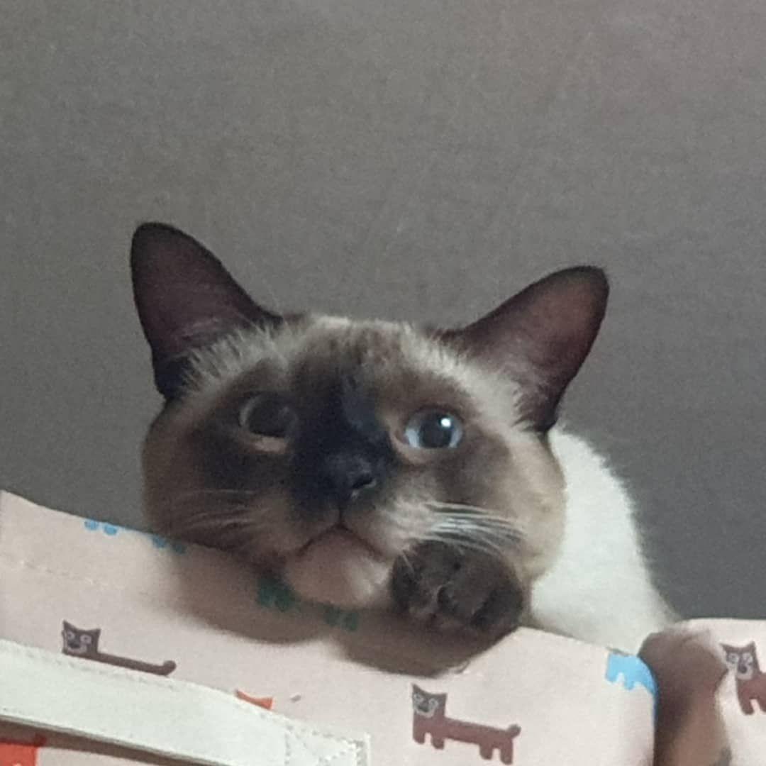 똥글똥글 내사랑 빵냥이 고양이 고양이스타그램 샴고양이 냥스타그램 묘스타그램 냥이 고양이일상 반려묘 반려 แมวน อย