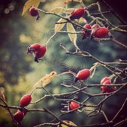 Rosehips are a sure sign of #autumn and they're great for greenfinches and thurshes too #homesfornature