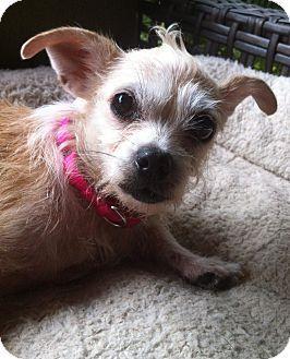 Brattleboro Vt Chihuahua Wirehaired Fox Terrier Mix Meet Ragamuffin A Dog For Adoption Pitbull Terrier Wire Fox Terrier Dog Exercise