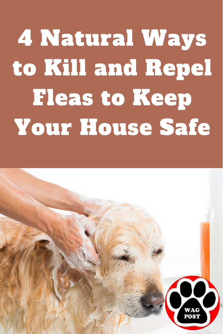 Rid Your Home Of Fleas Here Are 4 Natural Ways To Kill And Repel Fleas To Keep Your House Safe Flea Remedies Natural Flea Remedies Dog Flea Remedies