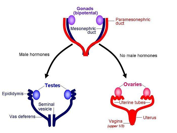 Vas Deferens Diagram The fetus is se...