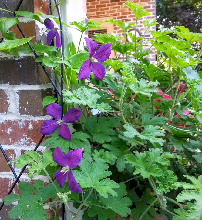 Clematis Jackmanii and scented geranium