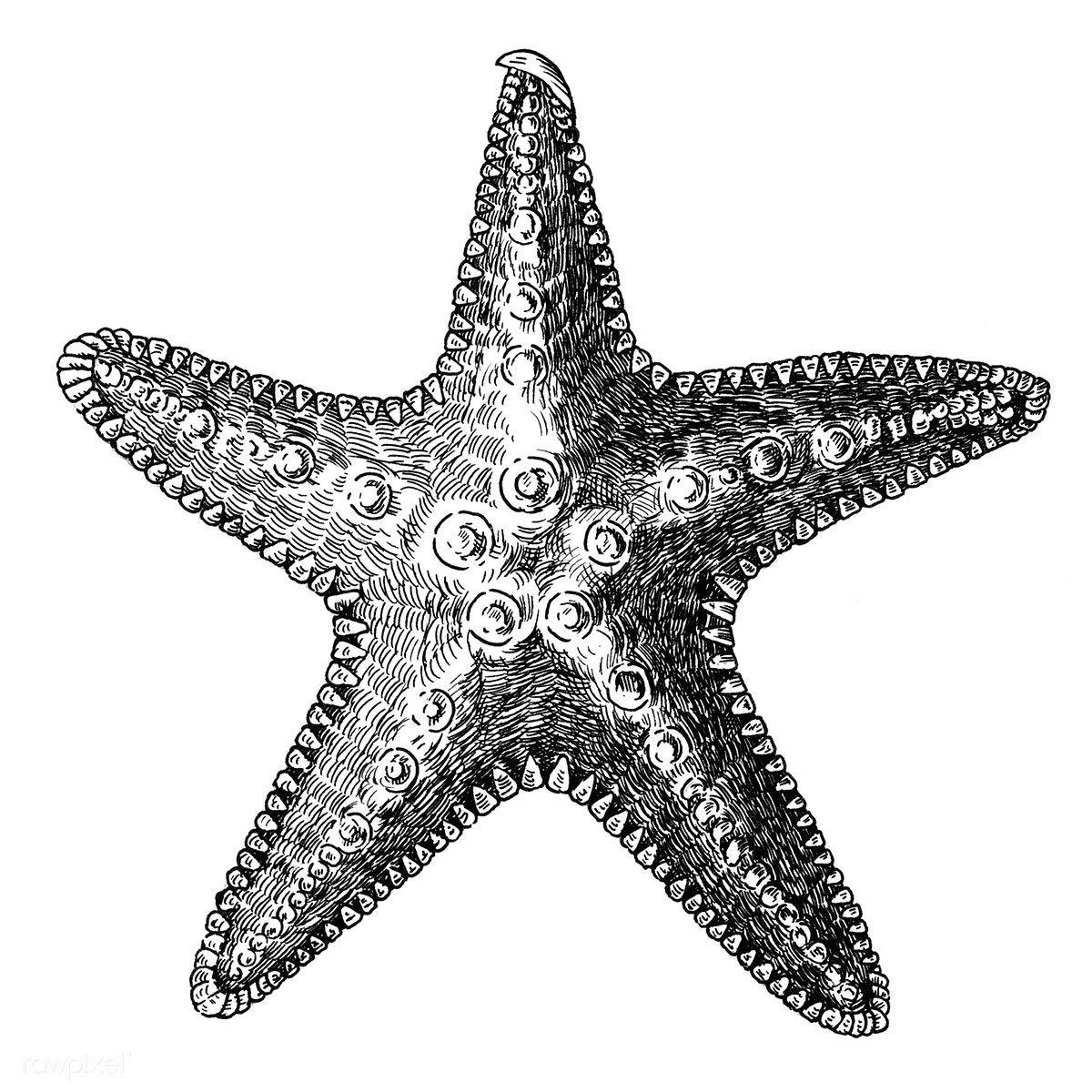 Hand Drawn Sea Starfish Isolated Free Image By Rawpixel Com How To Draw Hands Starfish Drawing Starfish Tattoo