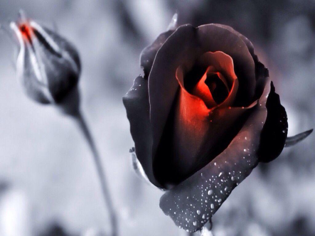 Beautiful black magic rose black magic roses pinterest black magic beautiful black magic rose izmirmasajfo