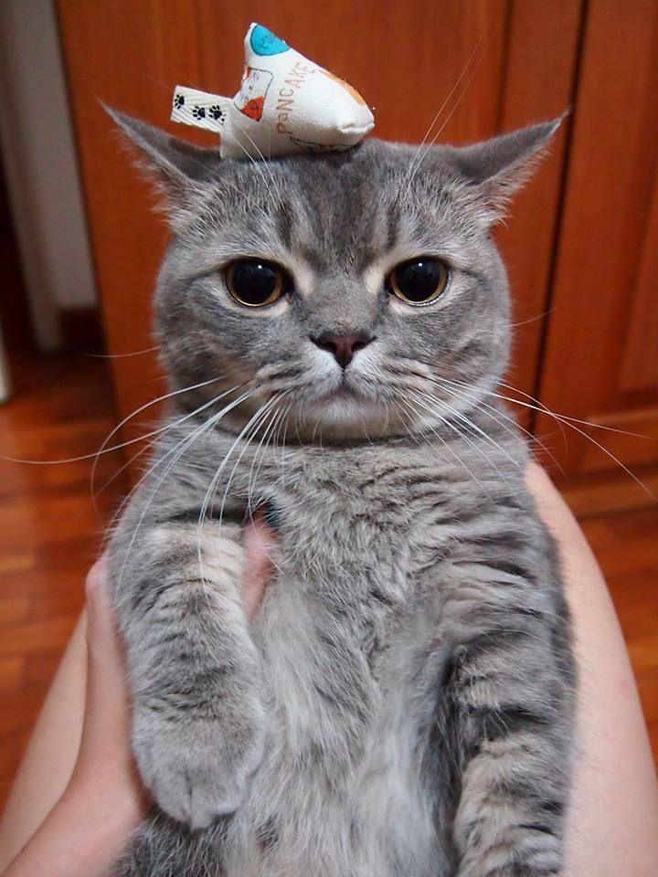 Catnip Kitty Cats Grey Cats Munchkin Cat