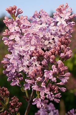 Pflanzenporträt, Syringa hyacinthiflora 'Lavender Lady'