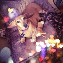 Adopt Magnolia On Adoptable Dachshund Dog Dogs Dachshund Mix