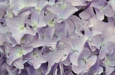 lighter purple hydrangeas
