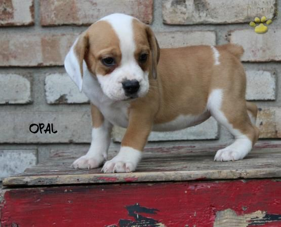 Opal Beabull Puppy For Sale In Sugarcreek Oh Buckeye Puppies