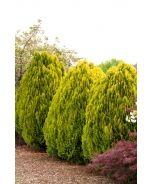 Dwarf Golden Arborvitae (Thuja orientalis 'Aurea Nana') - Monrovia - Dwarf Golden Arborvitae (Thuja orientalis 'Aurea Nana')