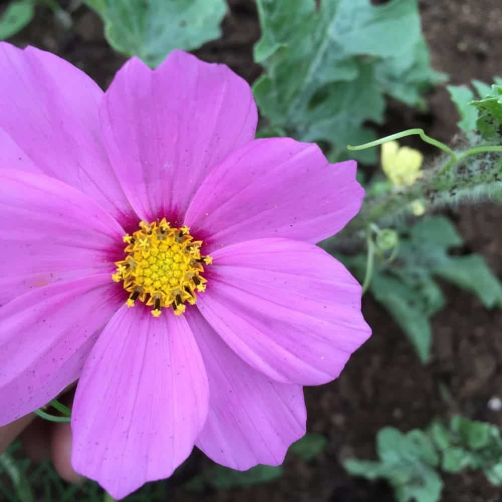 Pin On Cosmos Flowers