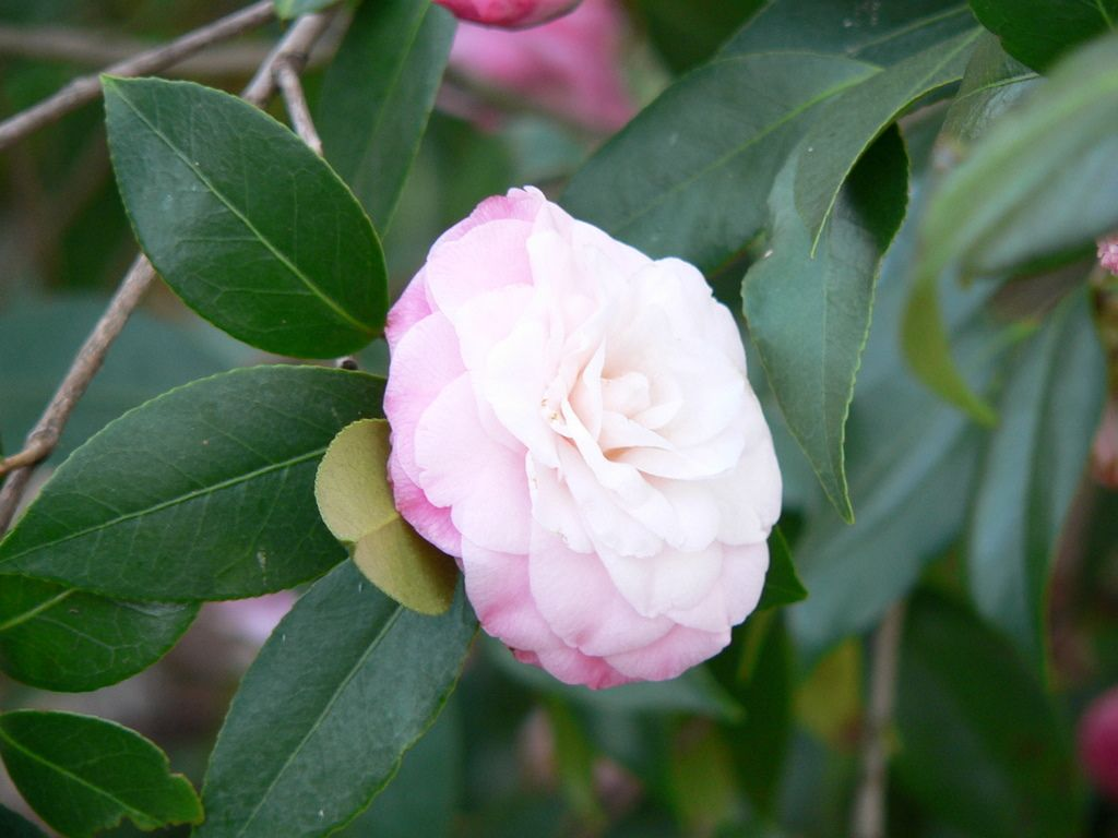 Camellia Planting And Care How To Care For A Camellia Plant Camellia Plant Camellia Tree Bonsai Tree Types