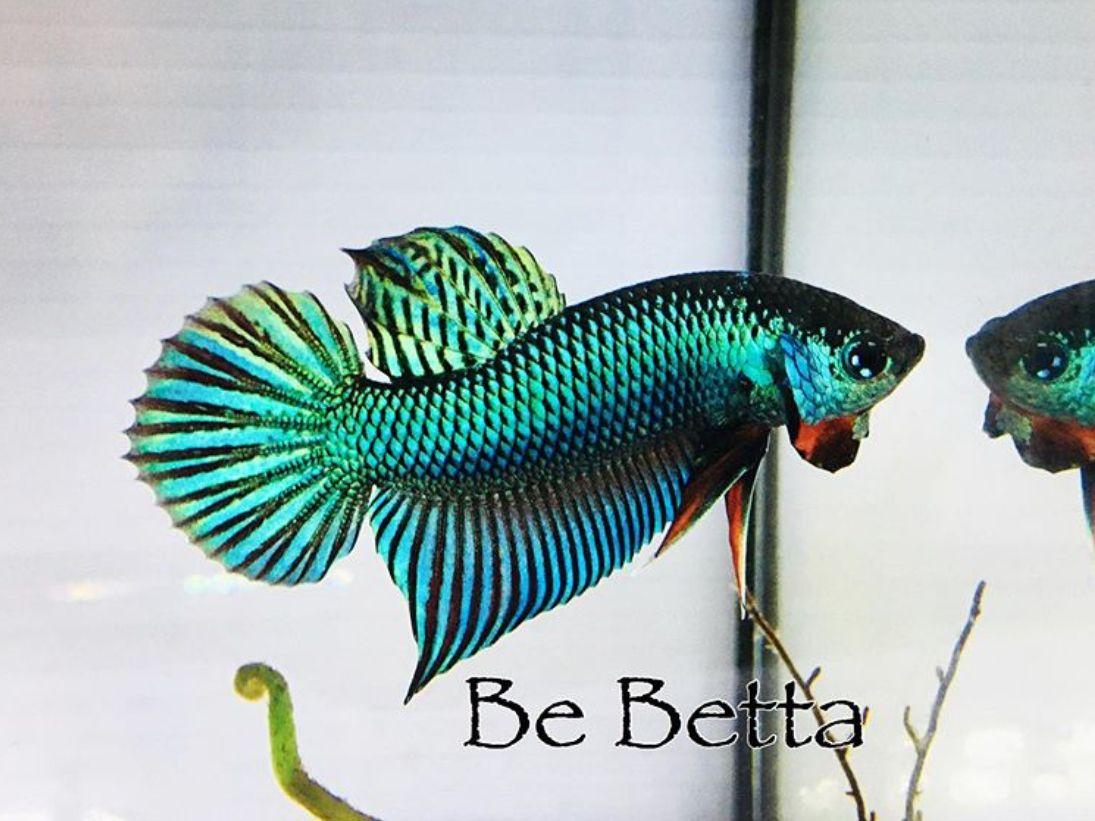#bebetta #bettafish #betta #fish #wild