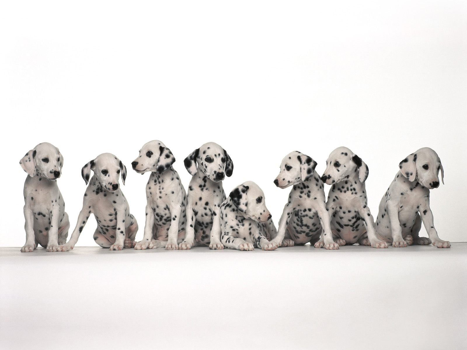 Dalmation puppy ...