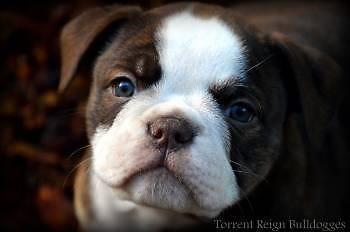 Olde English Bulldog Puppies Olde English Bulldog Puppies Bulldog Puppies English Bulldog Puppies