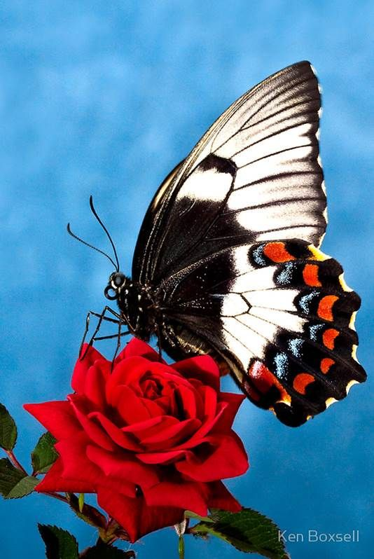 Image%20result%20for%20rose%20and%20butterfly%20%20pinterest