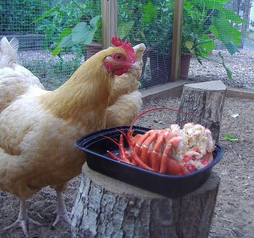 Incroyable Chicken Treat Chart The Best Treats For Backyard Chickens