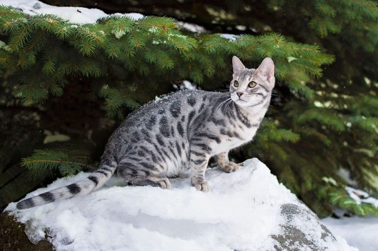 Blue Bengal Cats Kittens For Sale Wild Sweet Bengals Silver Bengal Cat Bengal Kitten Bengal Cat