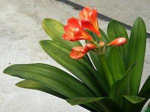 Le Clivia Est Une Plante D Interieur Facile A Cultiver Elle