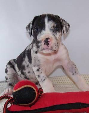 Huge Great Dane Puppies Health Guarantee Reg Beautiful Dane P