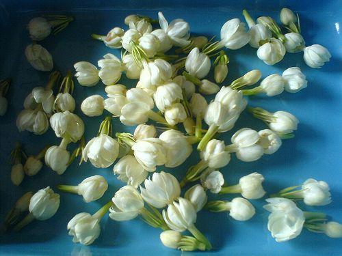 Sampaguita Our National Flower Jasmine Flower Sampaguita Chic Flowers