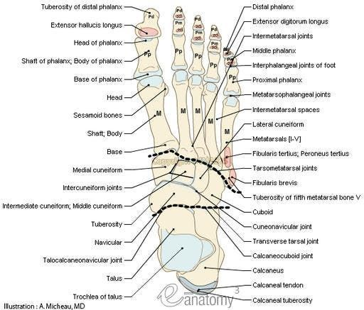 Dorsum of foot - Anatomy : Bones; Skeletal system, Joints of foot ...