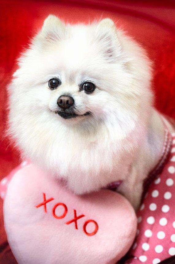 Animal Photography White Puppy With Love Message White Dog Pomeranian Valentine Decor Pink White White Pomeranian Puppies White Puppies Animal Photography