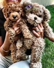 Cockapoo Puppies And Cavalier King Charles Puppies Puppies Yorkshire Terrier Puppies Easiest Dogs To Train