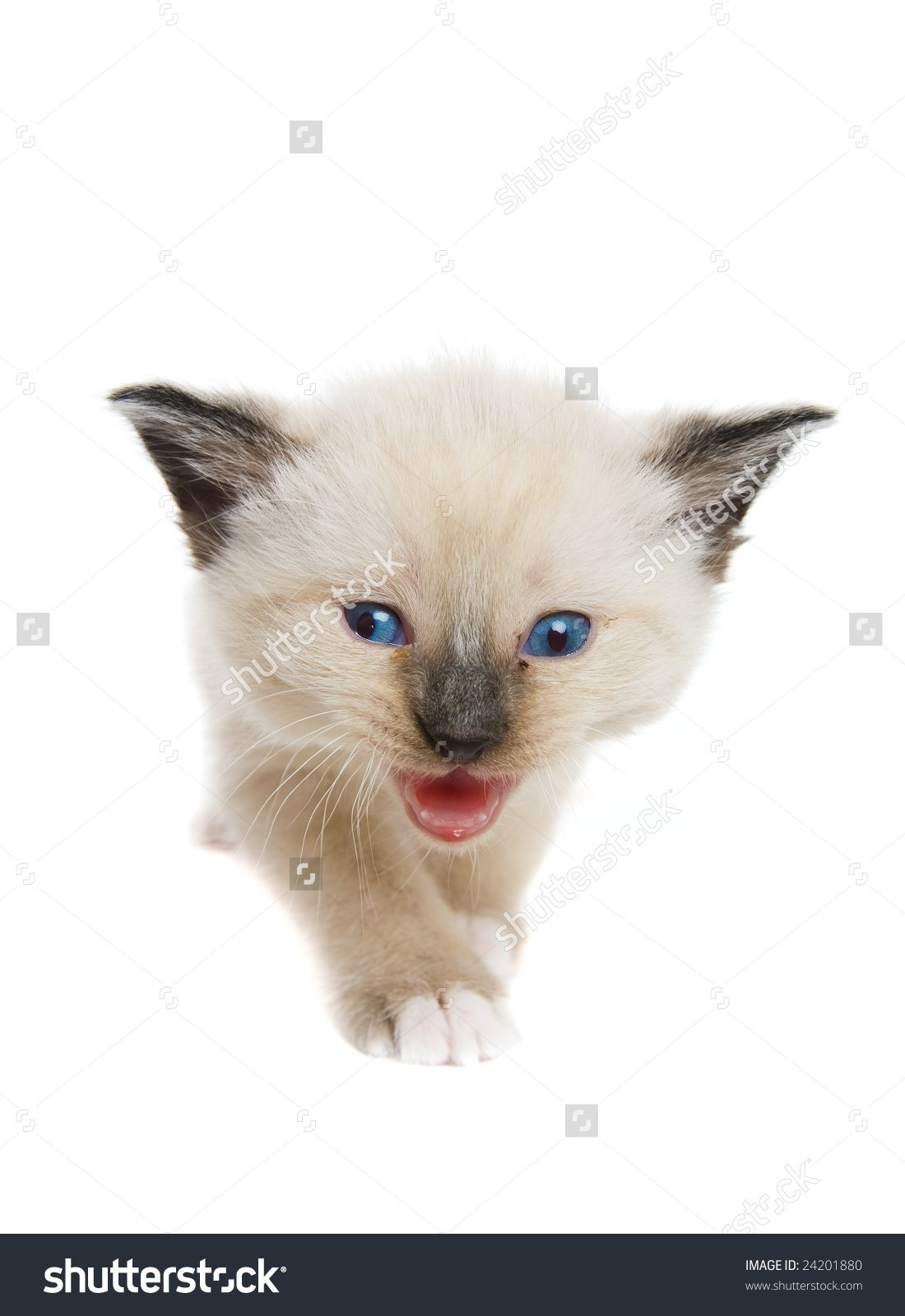Lynx Point Siamese Kittens Snowshoe Cat Pinterest