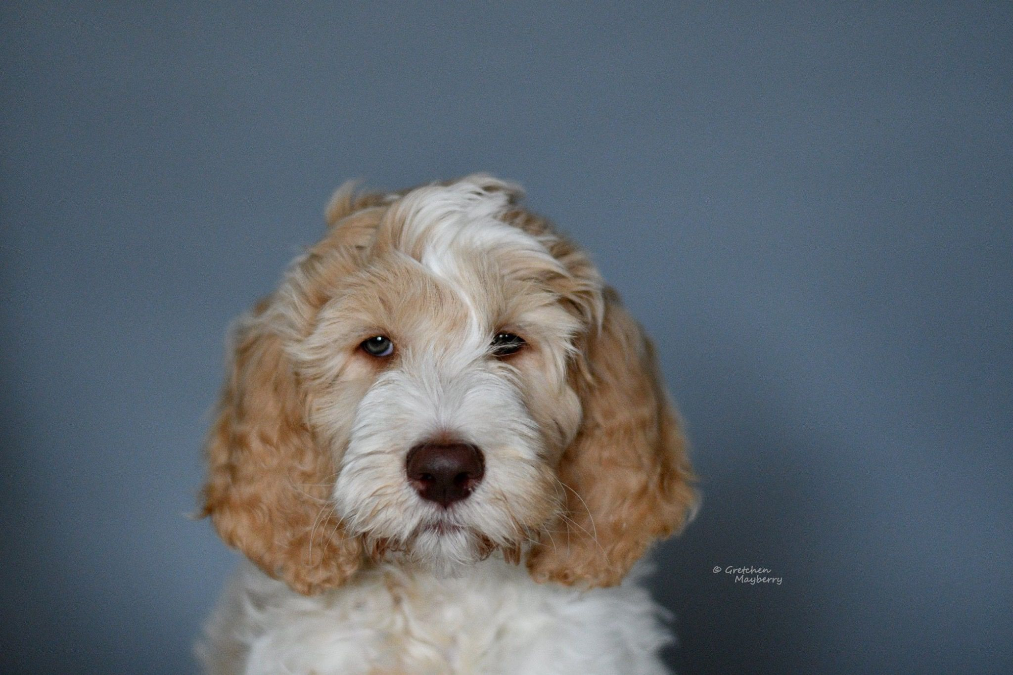Finley a double doodle puppy who belongs to my niece