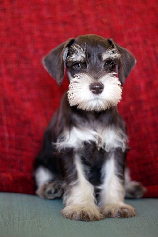 8 week old miniature schnauzer puppies