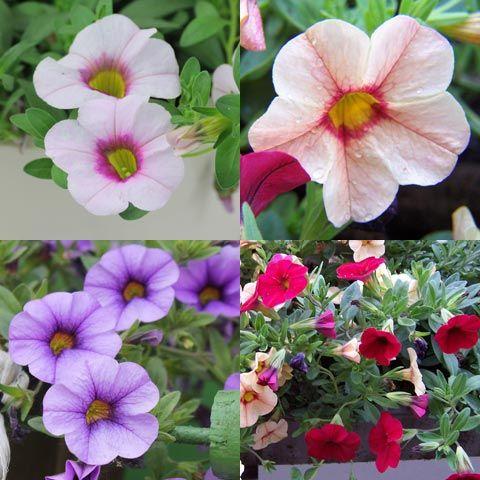 Charmant Blau Blühende Pflanzen Und Blumen Bestimmen