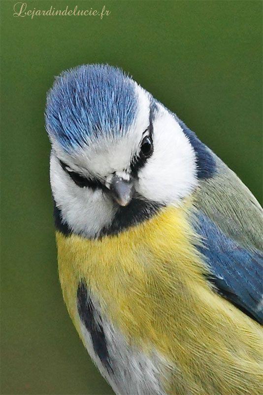 Blue tit( Parus caeruleus)