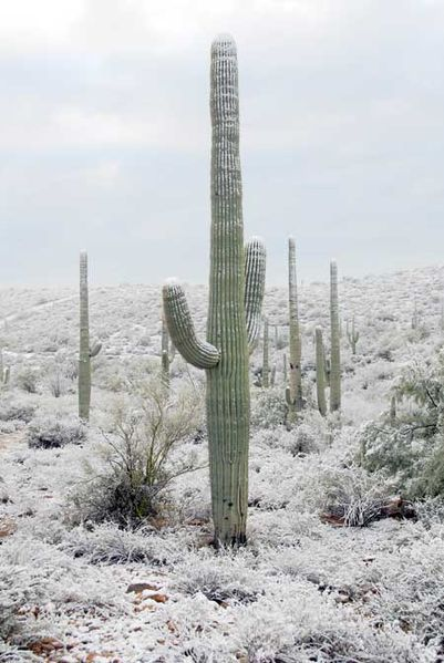 Photo of Cactus Saguaro con nieve … una vista rara.