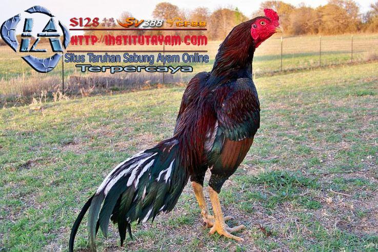Seputar Tentang Ayam Laga Brazil | FREE DUTY | Pinterest