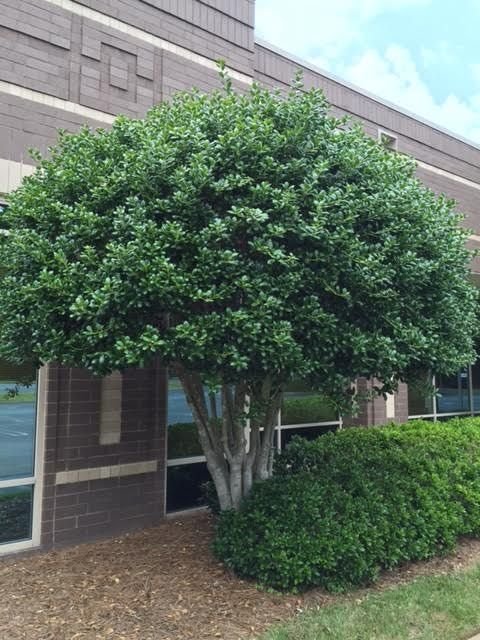 Common Name Tree Form Burford Holly Privacy Landscaping Patio Landscaping Shade Trees