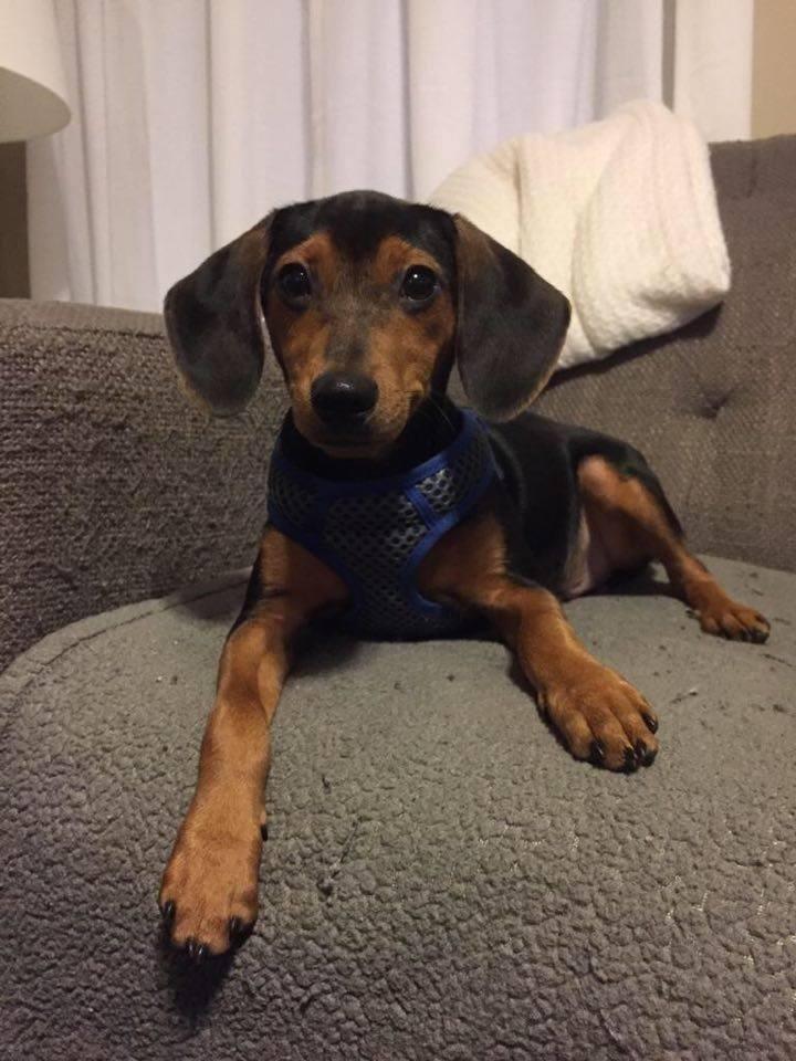 Rupert Is An Adoptable Dachshund Beagle Dog In Evergreen Park Il