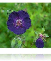 Geranium phaeum 'Our Pat'