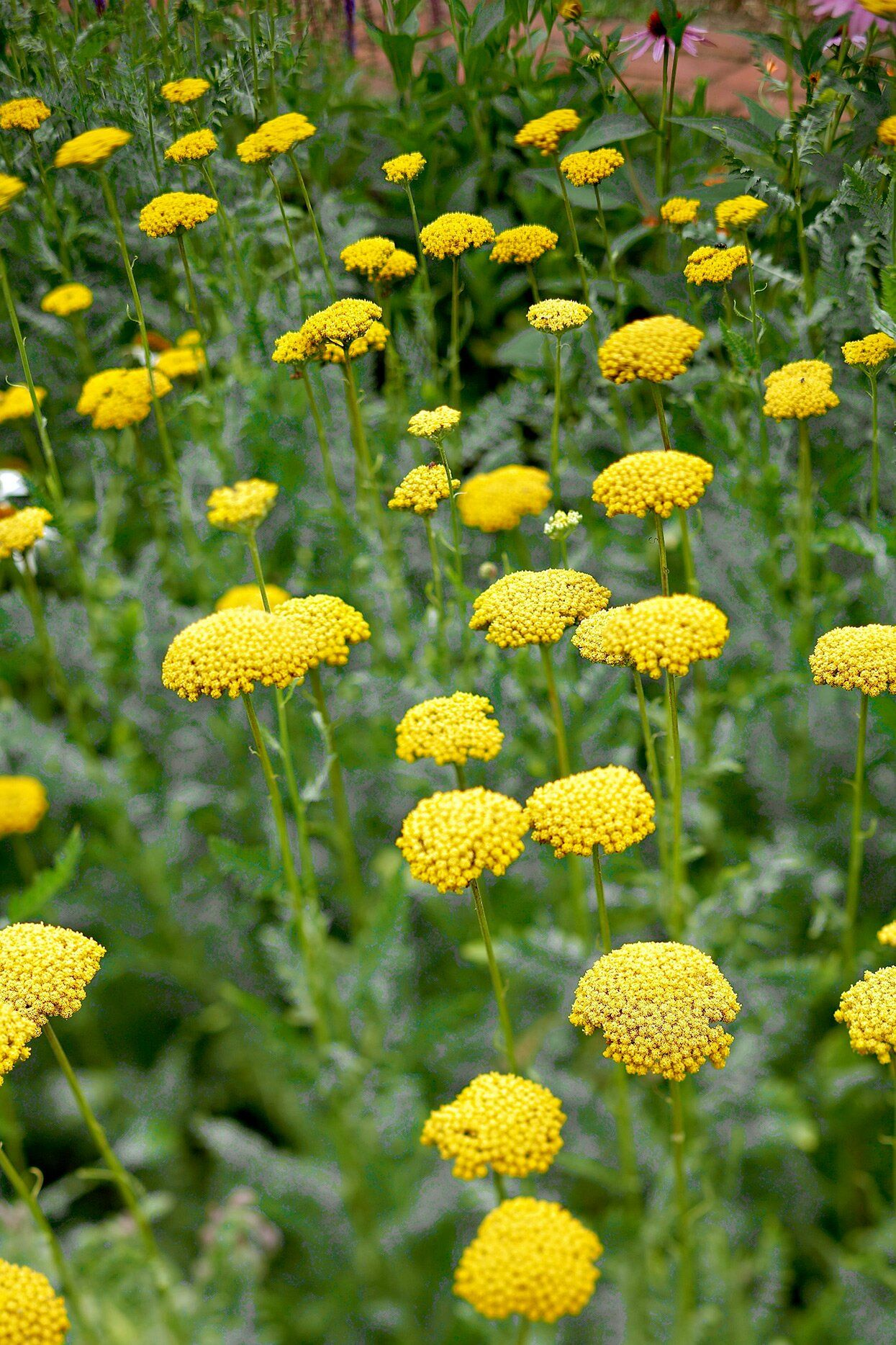 24 Of The Best Perennials That Will Thrive In Clay Soil In 2020 Hardy Perennials Flowers Perennials Best Perennials