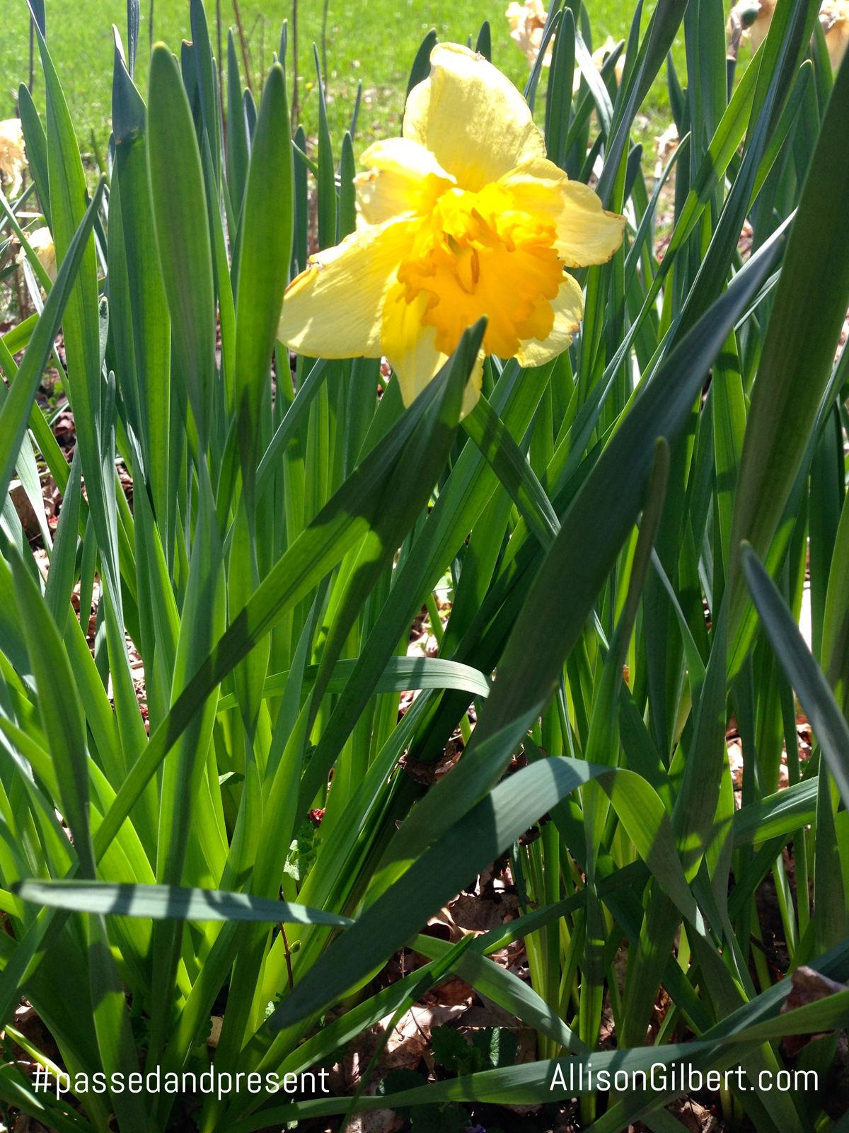"""Forget Me Not #46 - Grow Daffodils - Plant a daffodil bulb for every year a loved one lived. A featured way to remember loved ones who have passed away in my my book, """"Passed and Present"""" (April 12, 2016, Seal Press)."""