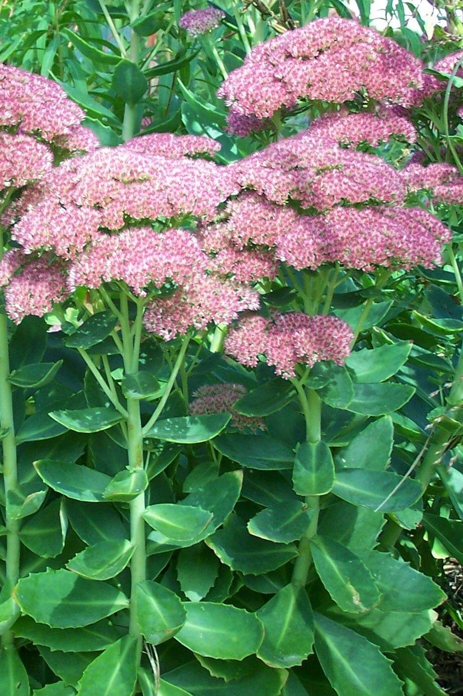 Nice Sedum Hylotelephium Telephium Sedum Hylotelephium Telephium Flowers Pinterest Live Forever Plant S Live Forever Plant Propagation houzz-03 Live Forever Plant