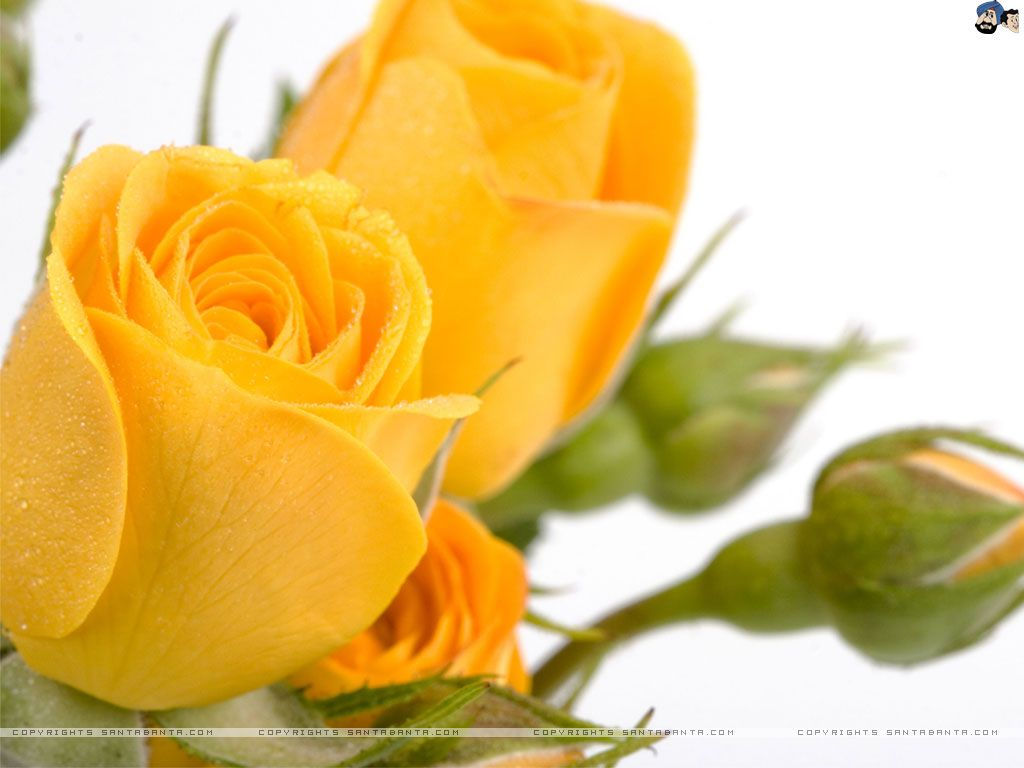 Hd wallpaper yellow rose - Fxa K Ultra Hd Yellow Rose Wallpapers Yellow Rose Wallpapers