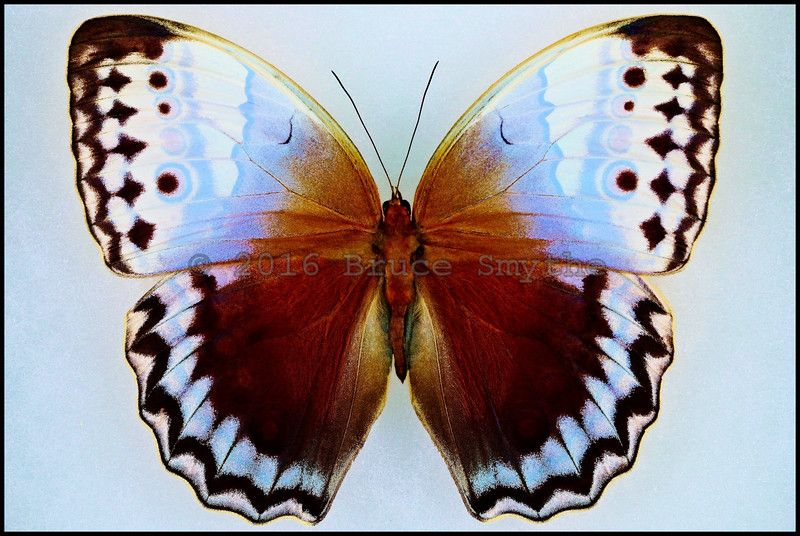 Stichophthalma Camadeva(Northern Jungle Queen) Male