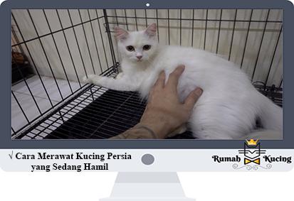 Cara Merawat Kucing Persia Yang Sedang Hamil Kucing Persia Kucing Persia