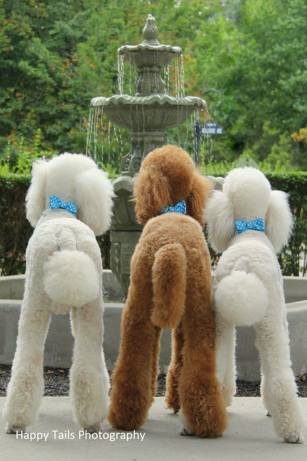 Standard poodle haircuts or of unless soft haircuts standard poodle - Poodle Grooming Poodles More Standard