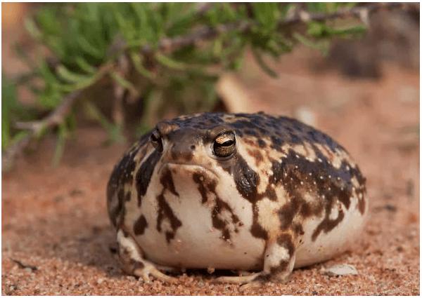 カエルの種類 一覧 小さいサイズでペットに最適なのは ペット カエル カジカガエル