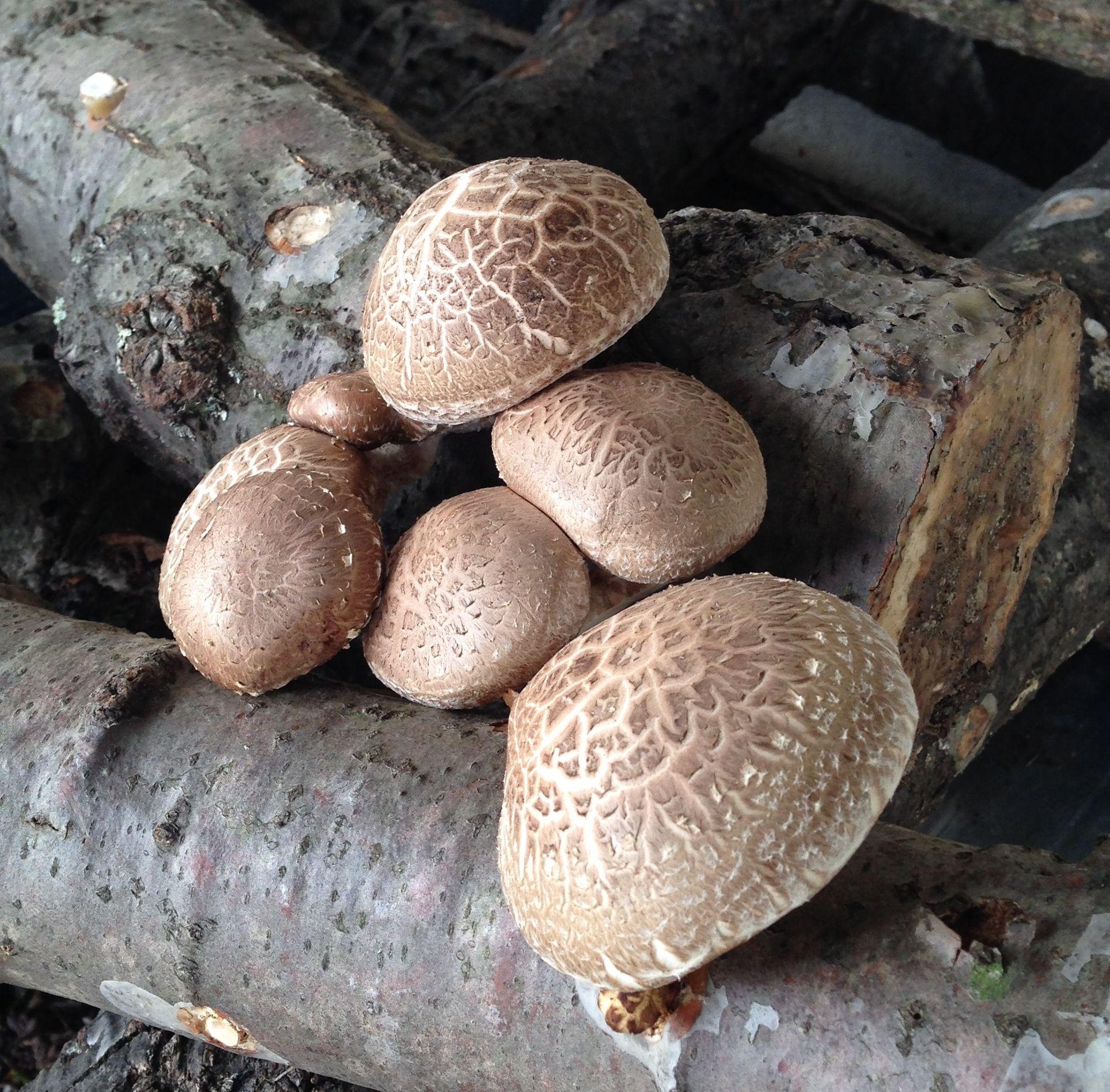 Shiitake mushrooms growing on Shiitake logs at Perona
